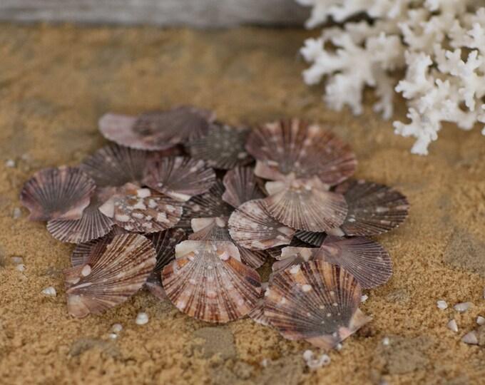 Beach Decor Flat Scallop Sea Shells - 25 Brown Scallop Seashells