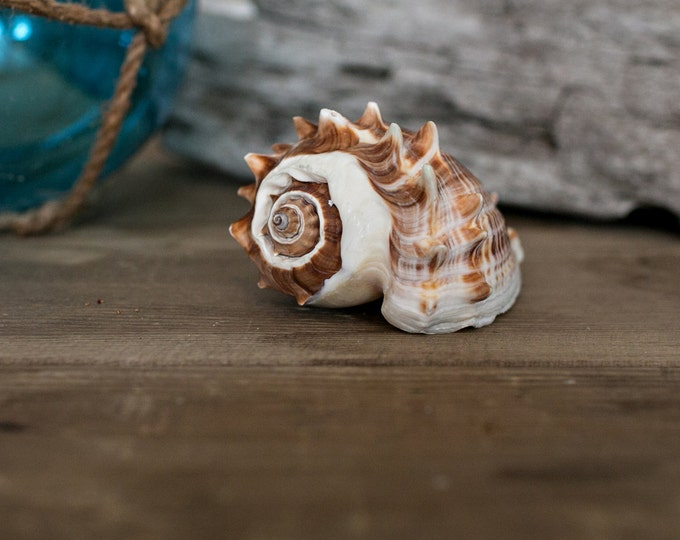 Beach Decor Seashell - Striped Conch Sea Shell for Nautical Decor, Beach Weddings or Crafts - Display Sea Shell