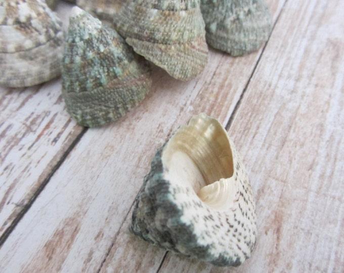 Beach Decor Seashells - Green Troca Sea Shells 9 pieces