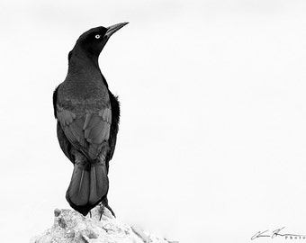 Grackle Black and White