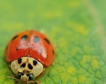 Ladybug Macro 5x7 Fine Art Photograph/Nature Photography