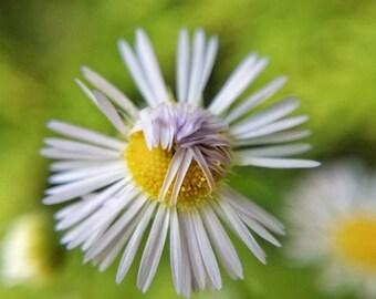 Shy Daisy Fine Art Photograph/Flower/Nature Photography/Macro Photo