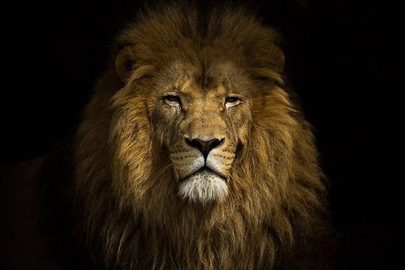 Lion portrait. Large photography art print. African animal ...
