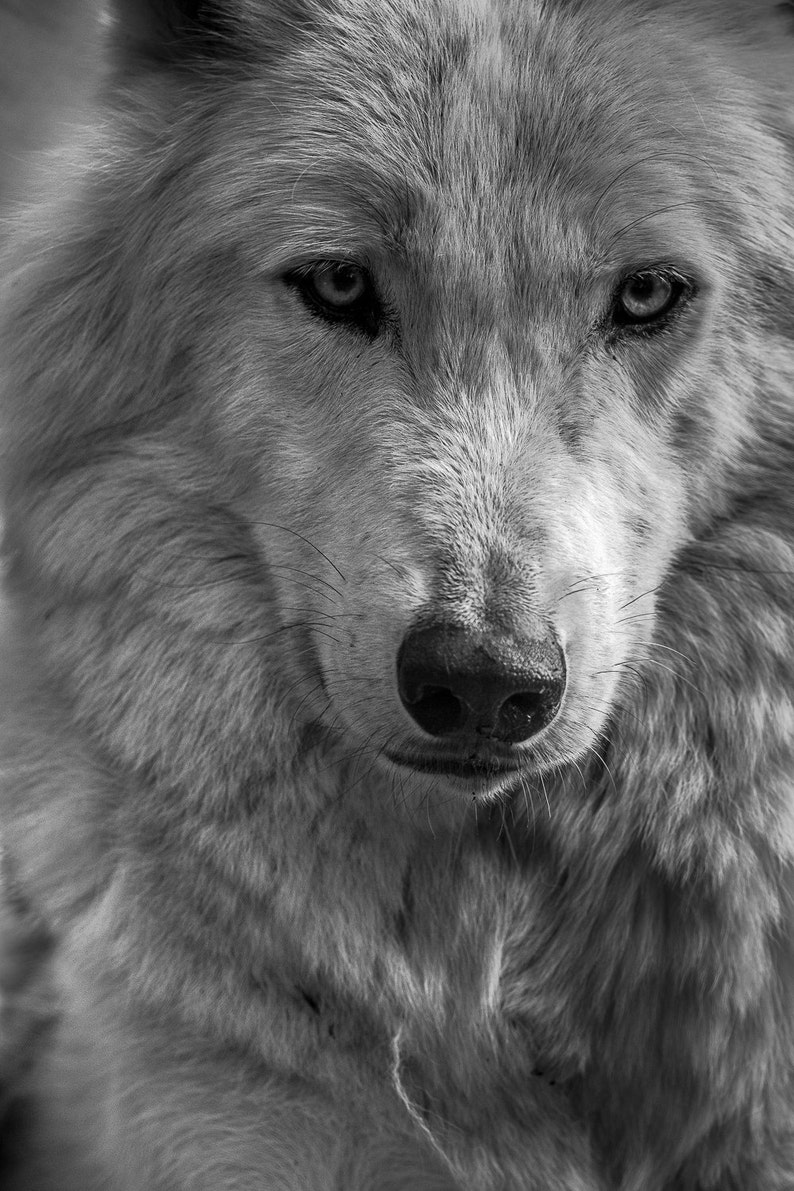 Wolf photography arctic wolf photo print nature wildlife photograph of white wolf snarl man cave wall decor wolf close up wall art decor