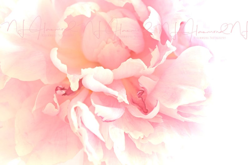 Peony Flower print Floral Abstract Digital Peony print floral image 0