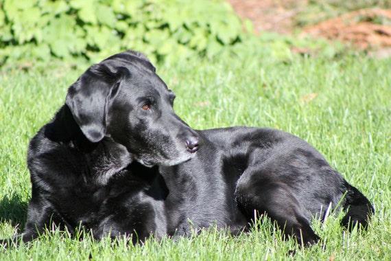 Black labrador--16x12 matted framed photo, dog on grass
