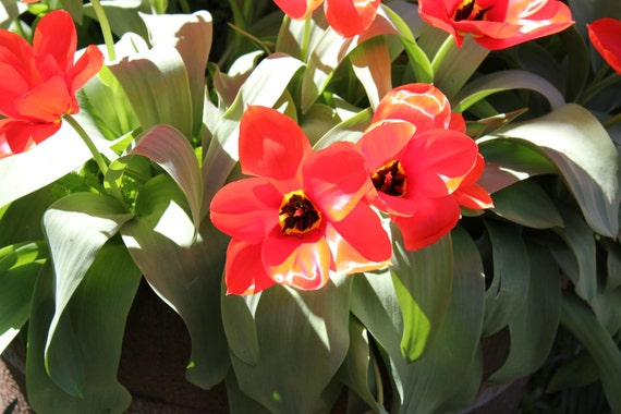 Red Tulips--matted red framed black nature photo of flowers