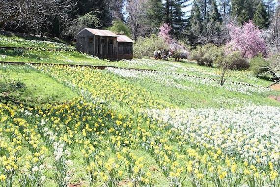 Daffodil Hill II--8x12 matted framed photo, flowers