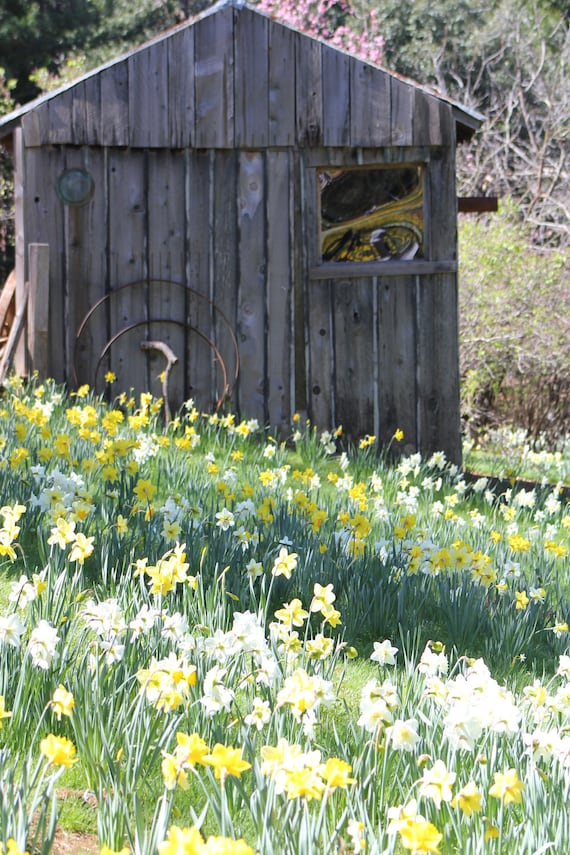 Daffodil Hill Rustic Old Pump House--matted white framed rustic wood photo