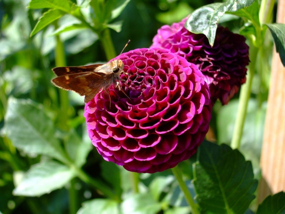 Pink Dahlia with Moth--matted and framed photo