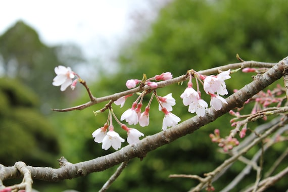 Cherry Blossoms--greeting card, photography, 5x7, signed, with envelope