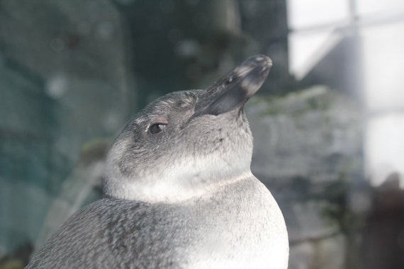 Penguin--matted grey framed black photo
