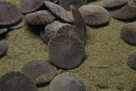 Sand Dollars--signed matted framed black underwater photo