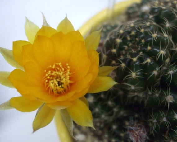 Cactus Flower--greeting card, photography, 5x7, signed, with envelope