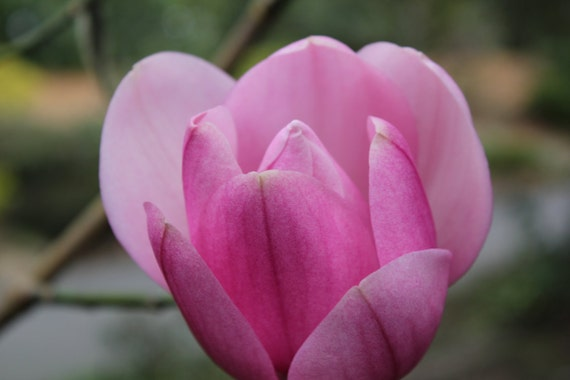 Pink Magnolia--matted pink framed white nature photo flower