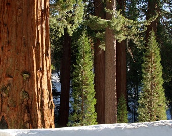 Sequoia Trees & Firs, Kings Canyon National Park, California