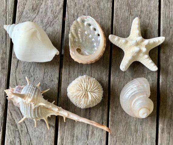Seashell Magnets, Seashell decor, Beach Decor, Shell Magnets, Teacher Gift, Seashells
