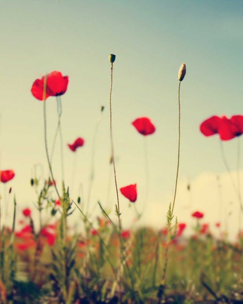 Red Poppy Field Flower Art Print  Floral Country Green Home image 0