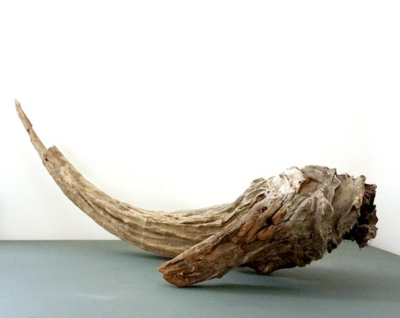 Driftwood Piece Large Tusk Shaped Wood Grey Weathered Drift Wood Branch Found Sun Bleached Beach Find Long Island Sound Beach House Decor
