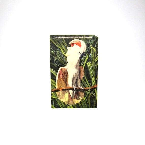 Vintage Miami Postcard Bird Cockatoo Florida 1940s Parrot