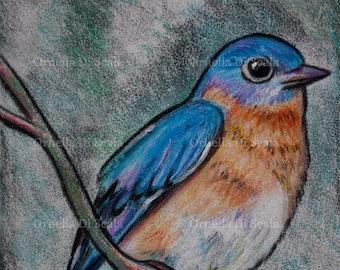 Bird Eastern bluebird portrait pastel original drawing fledgling drawing