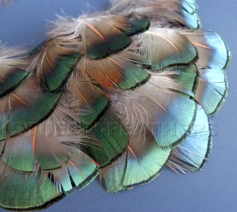 Small real feather Golden PHEASANT feathers plumage bronze image 0