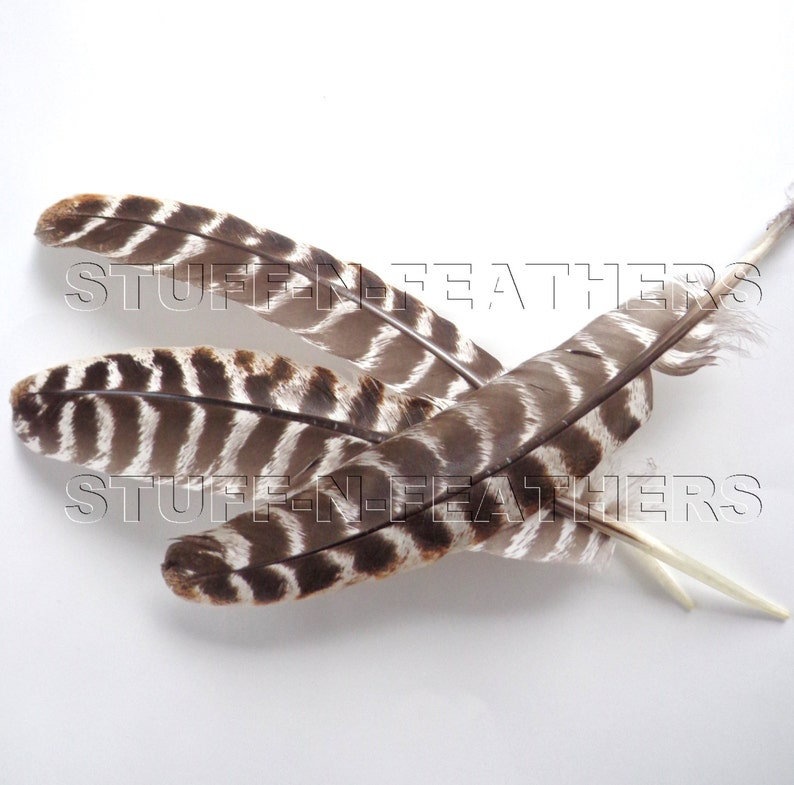 Long turkey wing feather quill natural brown barred real image 0