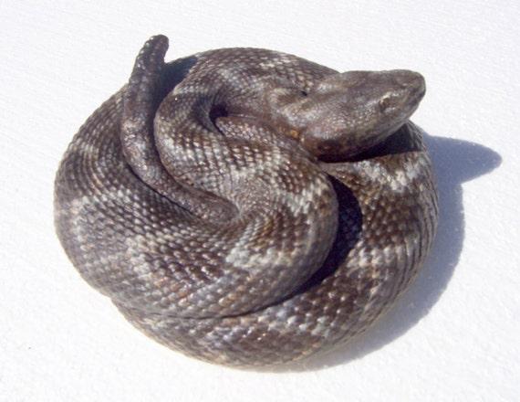 Coiled Rattlesnake Image Black Leather Keyring in Gift Box