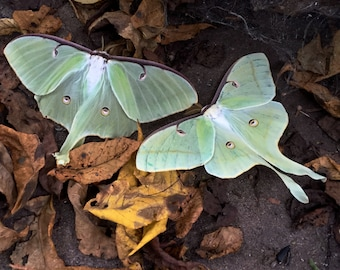 luna moths  nature photography small photograph wall art   5 3/4 X 5 3/4  printed with epson inks on san gabriel archival paper home decor