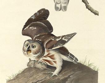 John James Audubon Reproductions - Birds of America, Little Owl, 1834. Fine  Art Print. 0090b939e16