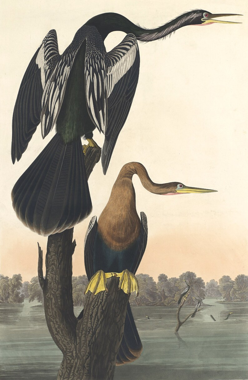 Louisiana Heron Fine Art Print Audubon Print Reproductions Birds of America