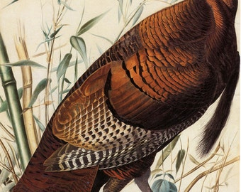 John James Audubon Watercolor Reproductions - Wild Turkey, 1829. Fine Art Print.