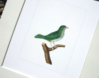 Emerald Bird Art Naturalist Drawing Archival Quality Print on Watercolor Paper