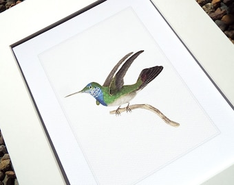 Hummingbird 2 in Emerald Green & Bright Blue Naturalist Drawing Archival Print on Heavy Watercolor Paper