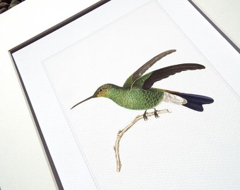 Hummingbird 1 in Emerald Green & Navy Blue Naturalist Drawing Archival Print on Heavy Watercolor Paper
