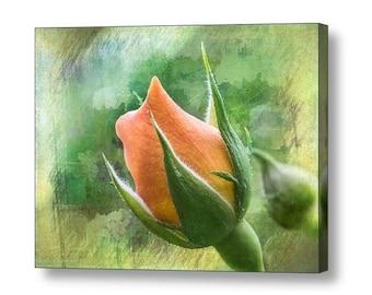 Apricot Delight Rosebud