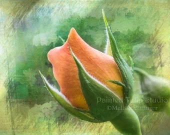 Apricot Peach Coral Rose Bud Still Life Nature Floral Flower Summer Garden Rosebud Fine Art Photography Print or Gallery Canvas Wrap Giclee