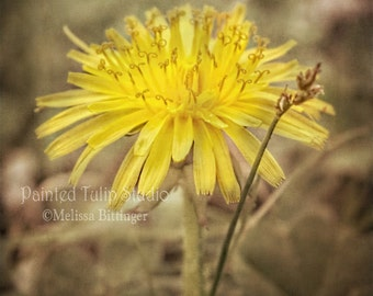 Yellow Dandelion Flower Macro Nature Botanical Rustic Cottage Woodland Decor Square Fine Art Photography Print or Gallery Canvas Wrap Giclee