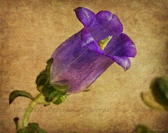 Purple Flower Canterbury Bell Rustic Elegance Shabby Cottage Chic Fine Art Photography Print or Gallery Canvas Wrap Giclee