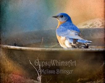 Eastern Bluebird Fine Art Photography Giclee Print or Canvas