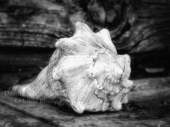 Conch Study B/W