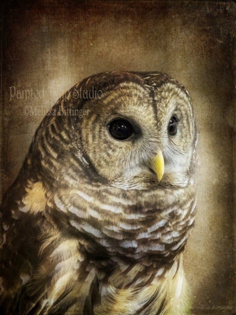 Barred Owl Rustic Woodland Nature Bird of Prey Hoot Owl Wildlife  Photography Print or Canvas