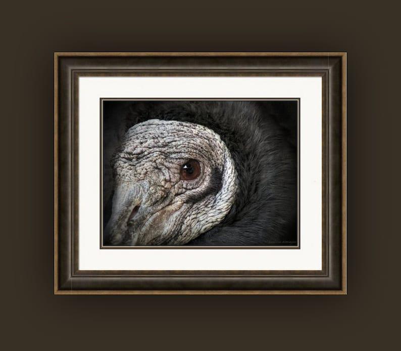 Bird of Prey Carnivore Fine Art Photography Print or Giclee Canvas Wrap American Black Vulture Closeup Portrait Bird Wildlife Nature