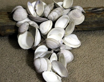 Little Neck Clam Shells, 20 shells, Gray and Purple Clams, Sea Shells, Beach Decor, Craft Supply