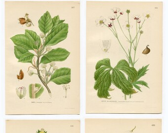 Antique Botanical Wild Flower Prints. Set of 4 Beautiful Individual White Countryside Plants C1920 Gardening Gift Countryside flower Prints