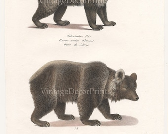 Original 1827 Engraving of Bears. Siberian and Brown Bears by Joseph Brodtmann for H.R.Schinz Hand Colored Lithograph. History Antique Print