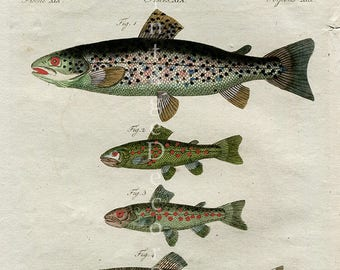Sea Trout Fish Print. Original Antique 1806 Hand Coloured Engraving of Trout From FJ Bertuchs Picture Book for Children, Gift for Fisherman