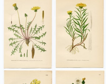 Antique Botanical Wild Flower Prints. Set of 4 Beautiful Individual Yellow Countryside Plants C1920 Gardening Gift Countryside flower Prints