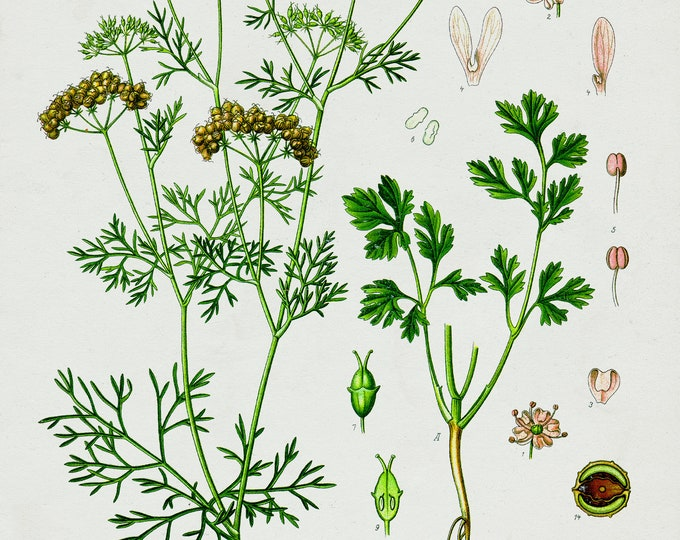 Coriander Botanical Print on Fine Art Paper or Canvas Fabric