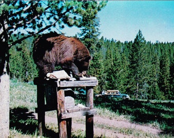 Vintage Post Card 1960s, Northern, Adirondacks, New York State, Grizzly Bear, Mountain, State Park, Postcard, USA, Unposted, Wildlife